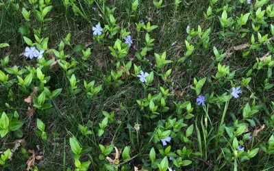 Creeping Charlie and Other Ground Covers