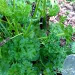 Caterpillars on parsley.