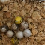 Image of golf balls in a hen nest.