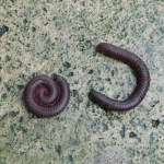 Why Do Millipedes Always Lose Races?