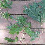Comparison of oak leaves