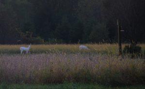 Albino deer in field