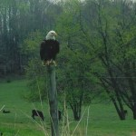 Bald Eagle sitting on fence post