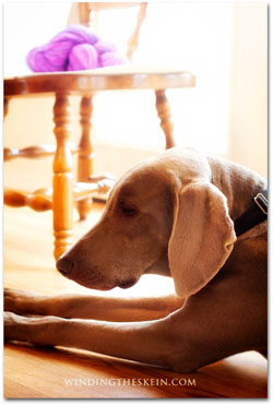 winding the skein weimaraner Jack