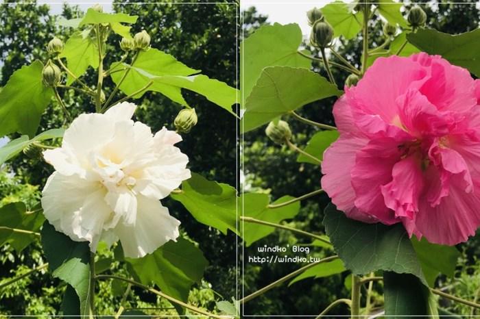 LiFe∥ 花卉 山芙蓉-早上與下午不同色,一日三變色的千面美人/三醉芙蓉
