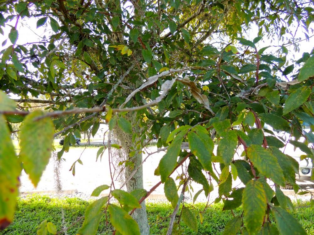 Winged Elm Close Up