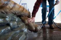 Monte Paddleford gives the tiger a good cleaning before she arrived on Brenau's campus.