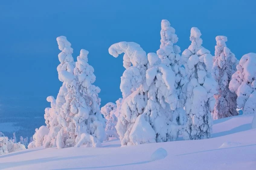 Snow covered trees at sunset Finnish Lapland