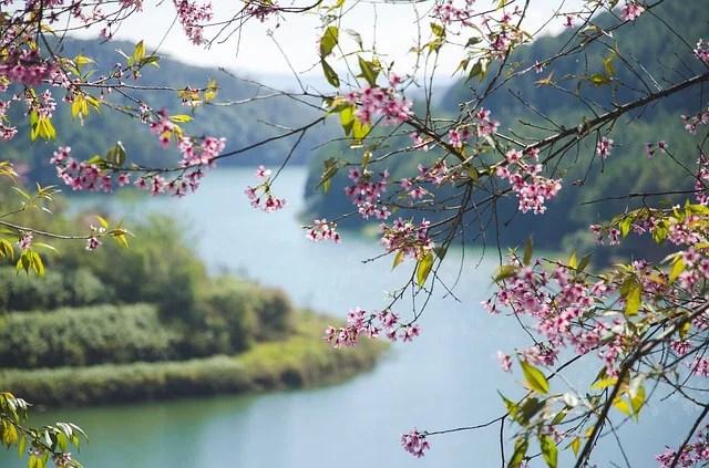 visa-free cherry blossom