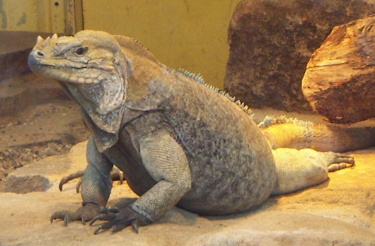 Jenis iguana batu, perawatan iguana ini tidak sulit
