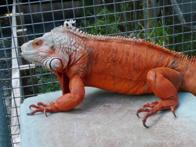 13+ Makanan hewan iguana yang masih kecil terupdate
