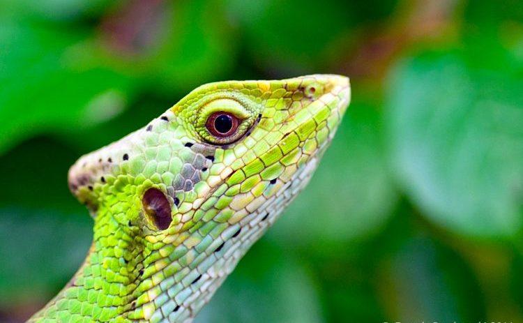 kepala jenis iguana laemanctus yang mempunyai jambul di kepala bagian belakangnya, merawat iguana ini cukup mudah
