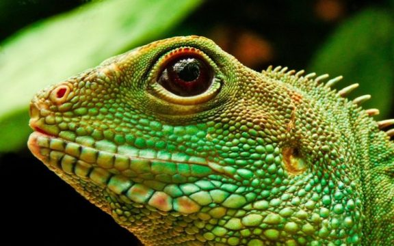jenis-jenis iguana yang cukup banyak, dengan cara merawatnya yang tak terlalu sulit
