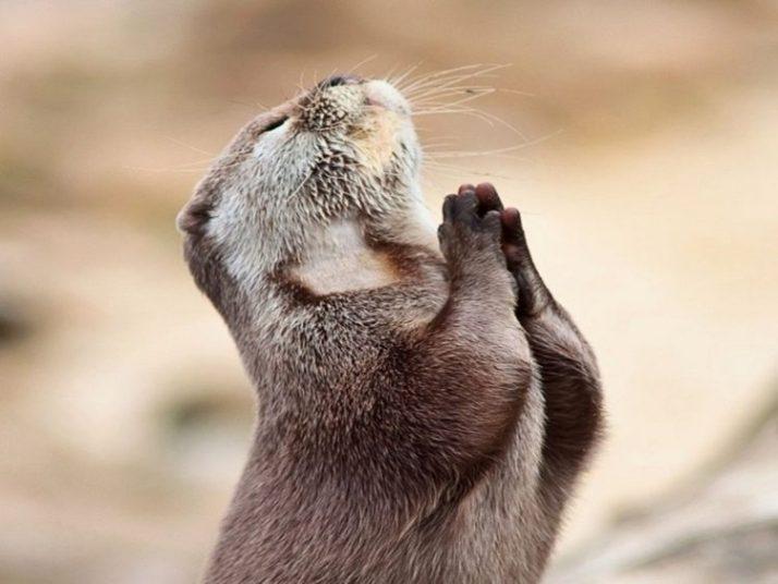 berang-berang sedang berdoa agar turun hujan