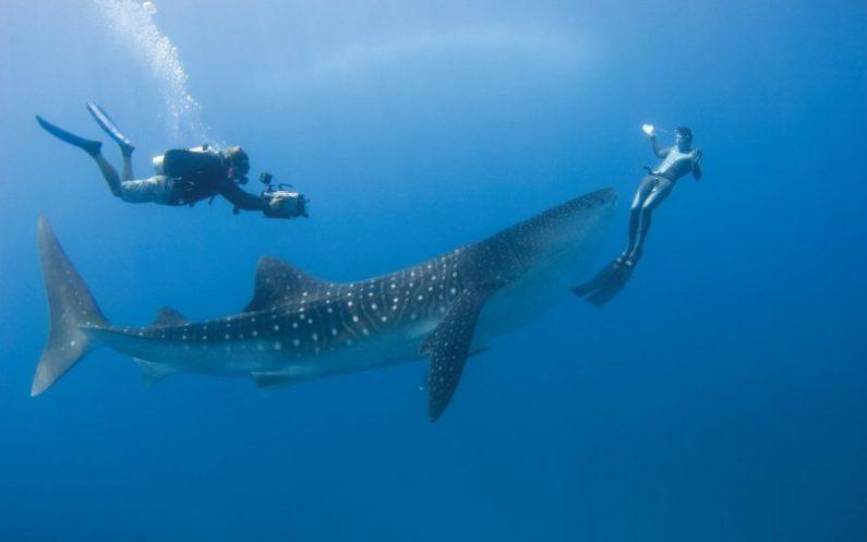 hiu paus yang jinak