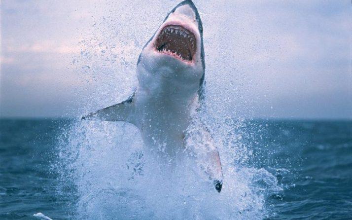 ikan hiu melompat