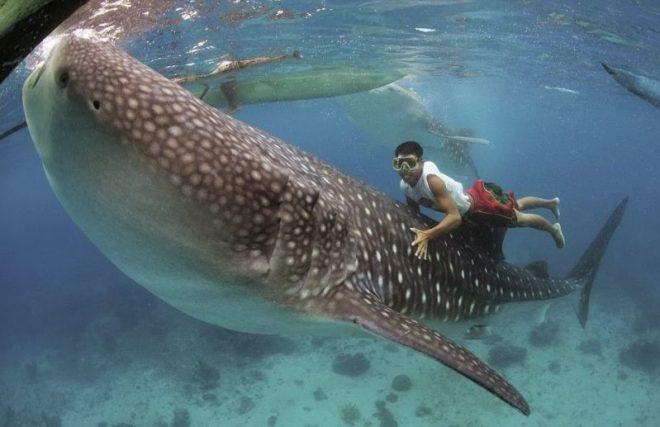 ikan hiu paus dan manusia