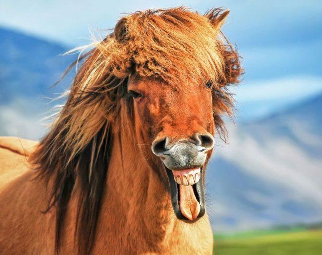 kuda kocak
