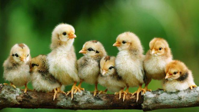 Memelihara Ayam Kate