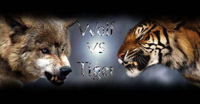 wolf vs tiger