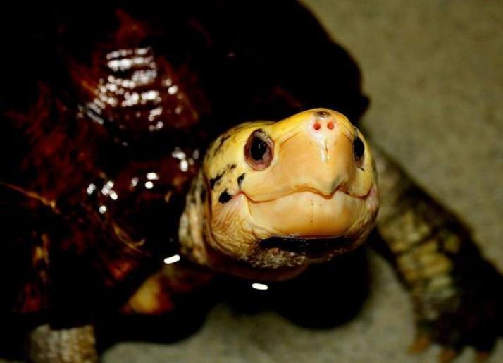 Kura-kura hutan sulawesi