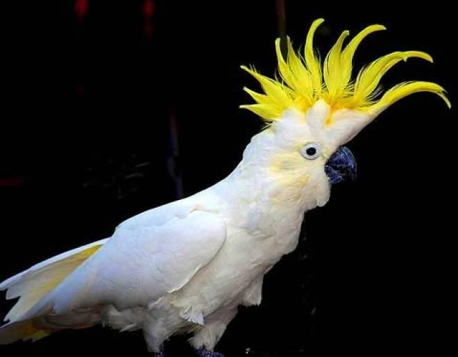 burung Kakaktua Jambul Kuning