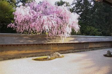 Kyoto: Ryoanji sakura