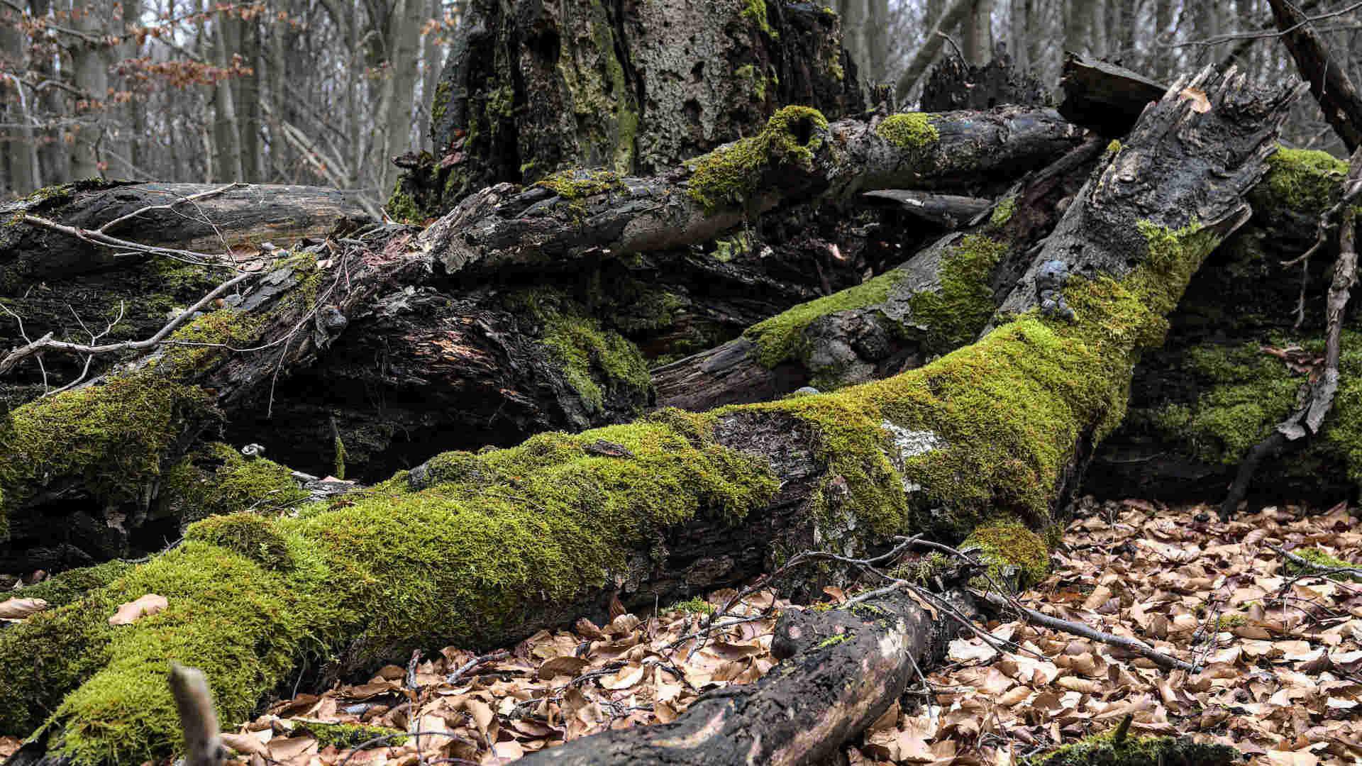 Wundervoller Urwald Sababurg