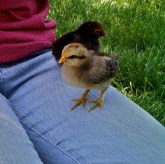 041716 tame chicks