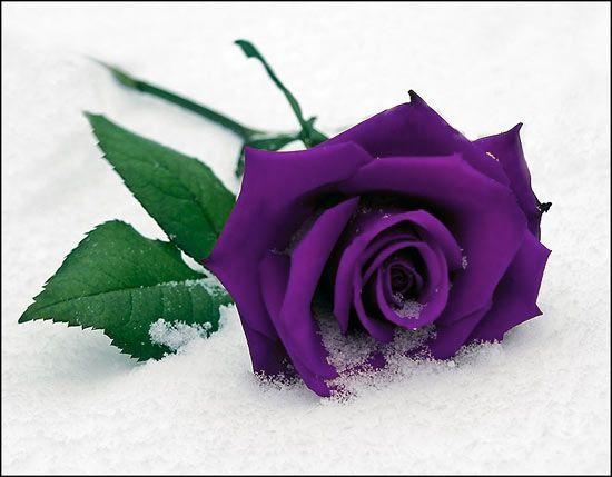 purple rose windsor funeral