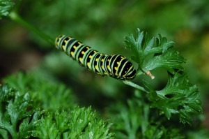 OK, it has at least one pest, but black swallowtail butterfly caterpillars don't abound in my community, so . . .