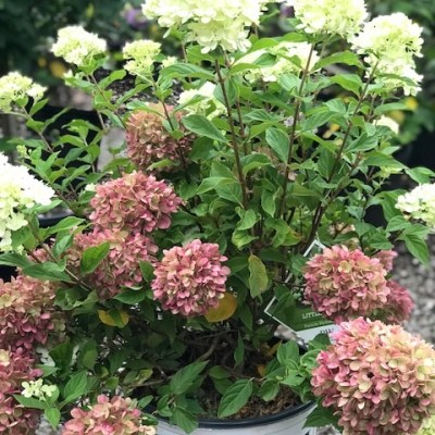 The Hydrangeas – A Windy Hill Farm Specialty