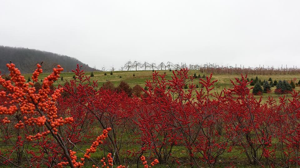Windy Hill Farm Field-Grown Winterberry