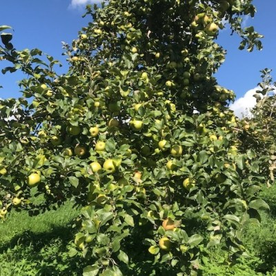 Last Week of Pick Your Own Apples