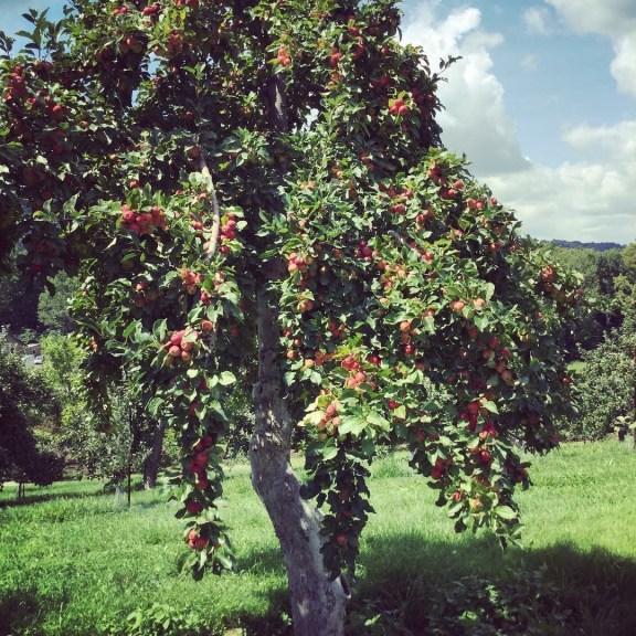 Last Week of Pick Your Own Apples