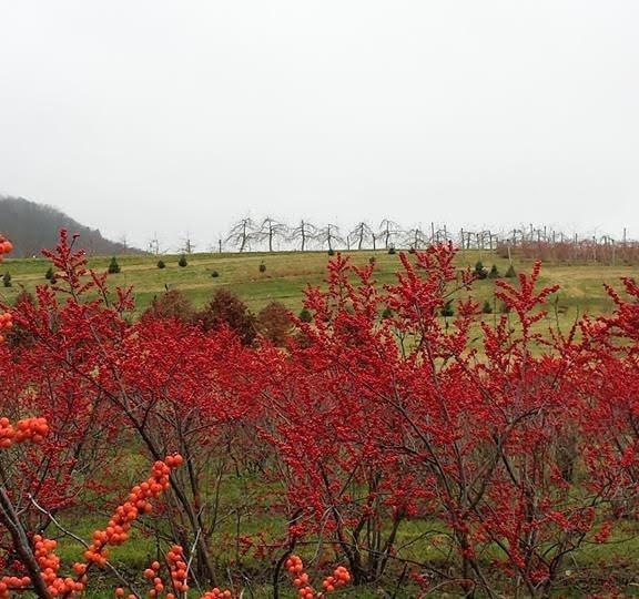 Windy Hill Farm Field-Grown Winterberry 2020
