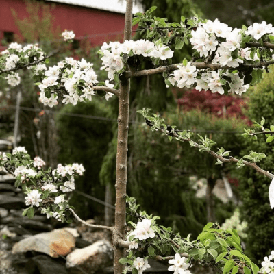 Celebrating the Arrival of Spring with Choice Fruit Trees – April 17, 2019