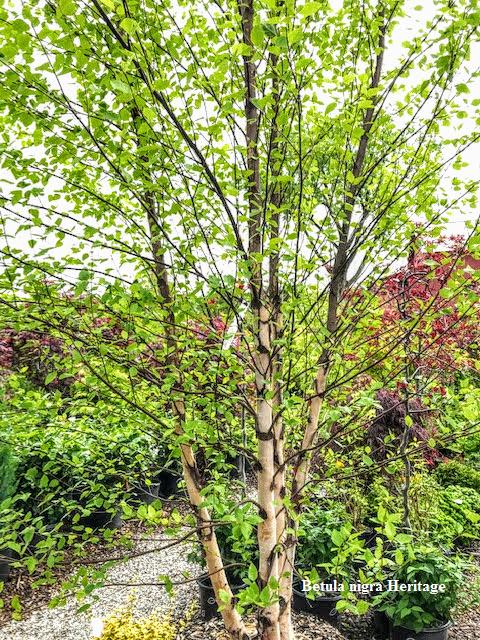 Betula nigra Heritage2