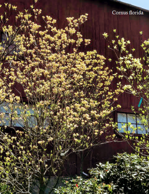 Dogwood Yellow