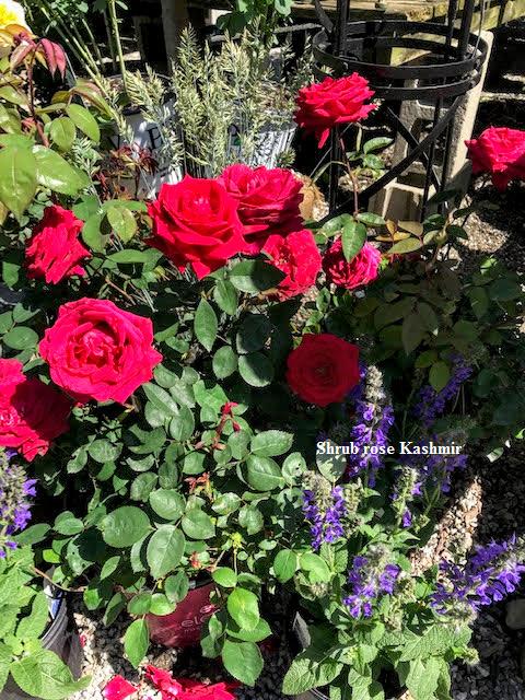 Shrub rose Kashmir