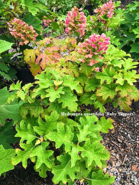 Hydrangea quercifolia Ruby Slippers