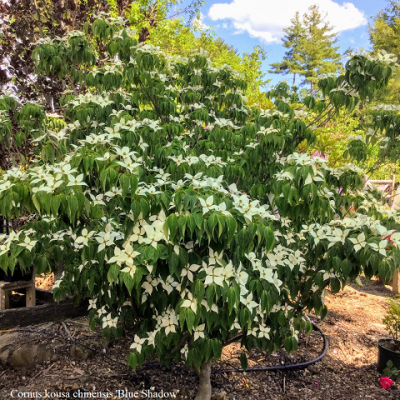 Cornus kousa chinensis, Chinese Dogwood – June 24, 2020