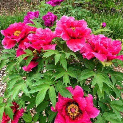 Celebrating Father's Day with Hardy Shrub Roses, Herbaceous, Intersectional & Tree Peonies – June 10, 2020