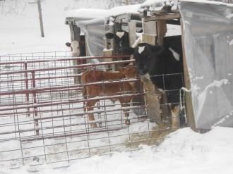 Calves in their lil calf huts ...