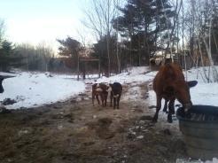 Amy's bull calf (left), Mocha's bull calf (right); Bergita babysitting.