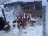 Geese demanding their breakfast!