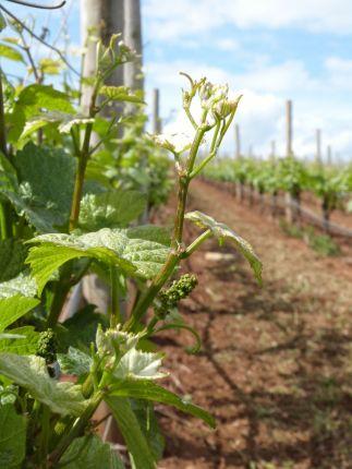 Pinot Noir vine