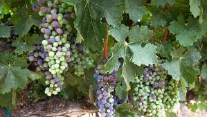 state of Cabernet in Napa Valley