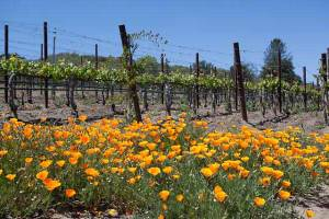 wine country poppies