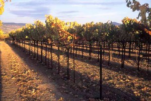 Vineyards in the Oakville AVA in the Napa Valley